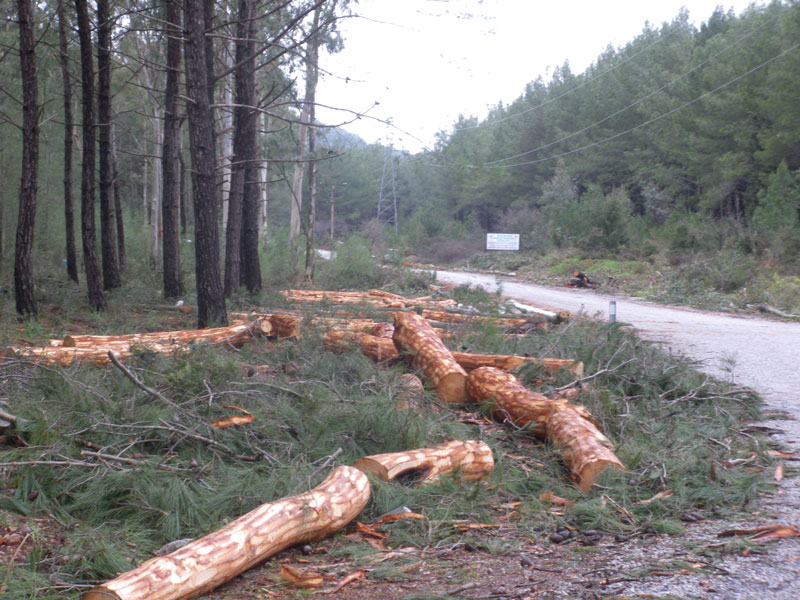 Tree felling on the mountain road