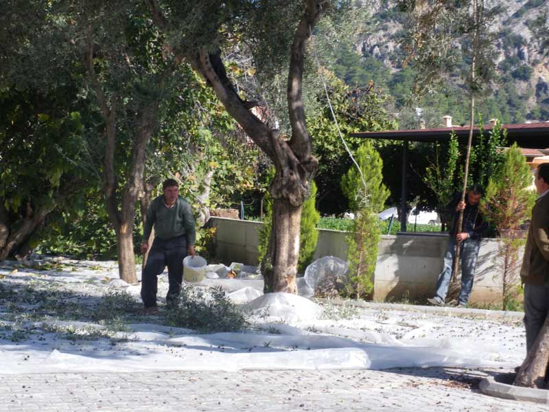 Olive picking - great skill involved (maybe)