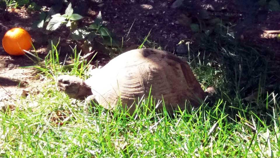 A tortoise appears after its winter hibernation