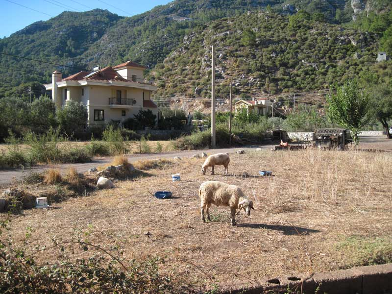 Turunç - sheep grazing just a few minutes away from the main street