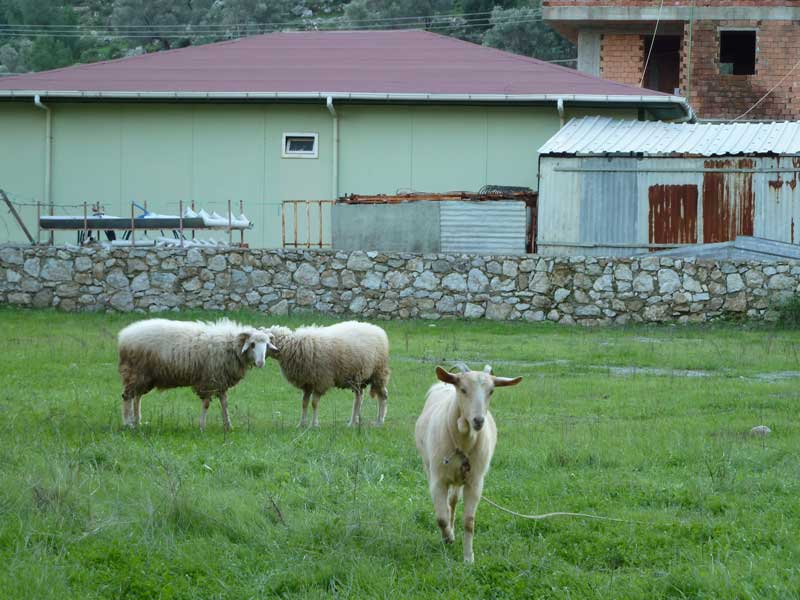 Turunç - Sheep with their winter woolies on enjoying the lush grass!
